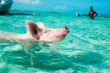 Swimming pig in the Exumas, Bahamas