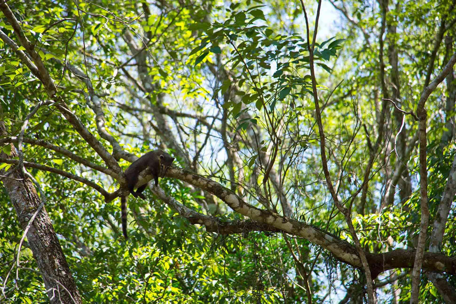 Iguazu, Argentina Coati