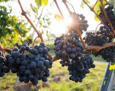 Grapes at a vineyard in Hua Hin, Thailand