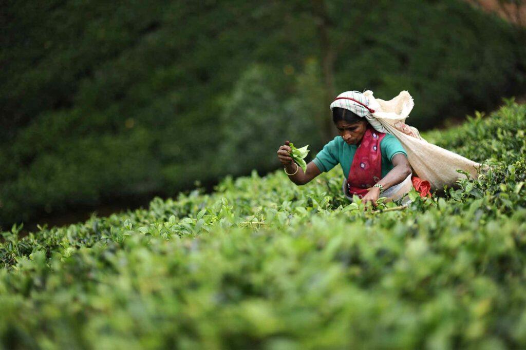 Tea harvest, Resplendent Ceylon, Sri Lanka