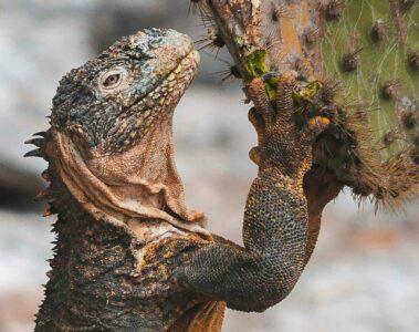 Land iguana and cactus in the Galápagos Islands, Ecuador