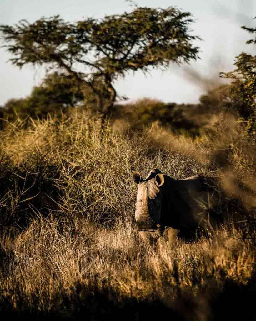 Rhino in the savannah, Zannier Reserve, Namibia