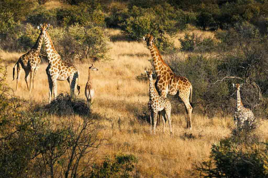 Giraffes in the savannah, Zannier Reserve, Namibia