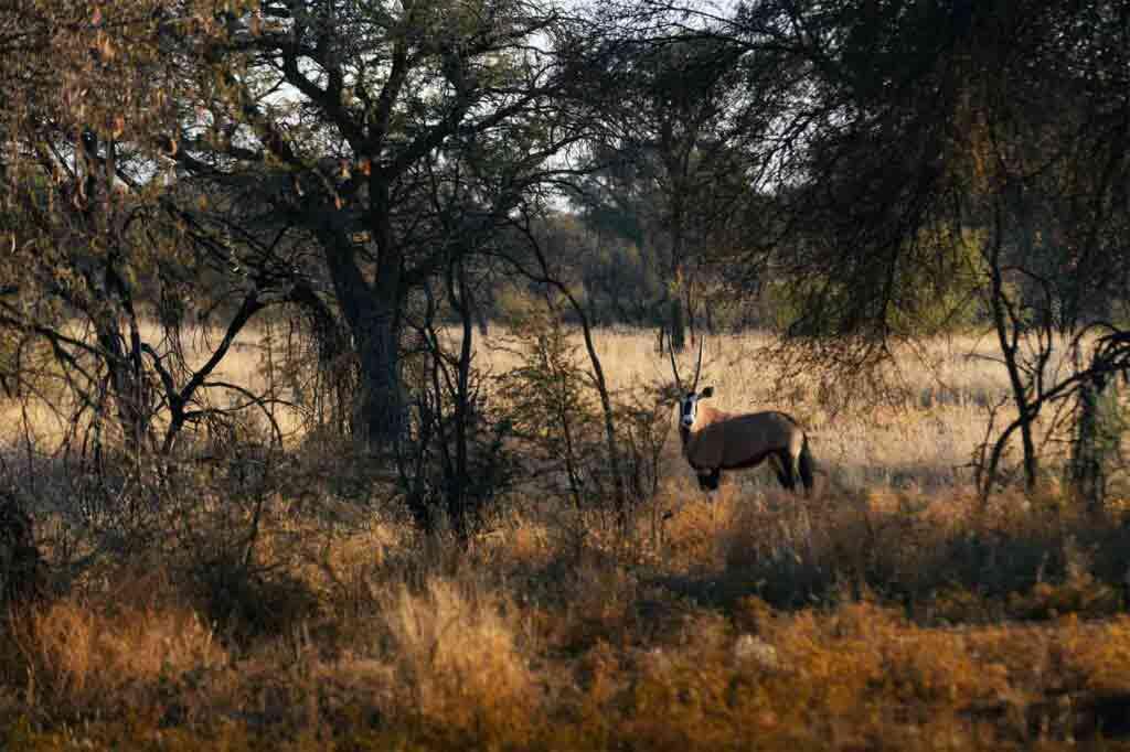 Wildlife in the savannah, Zannier Reserve, Namibia