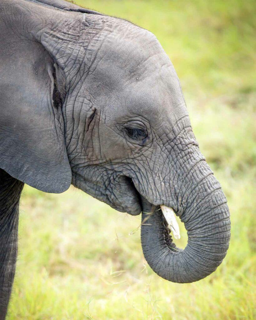 A sight during the Private Jet Wildlife Safari: a young elephant feeding in Kenya, Africa