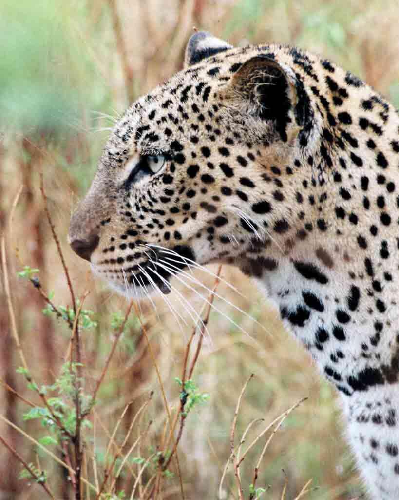 A leopard in Kenya up-close