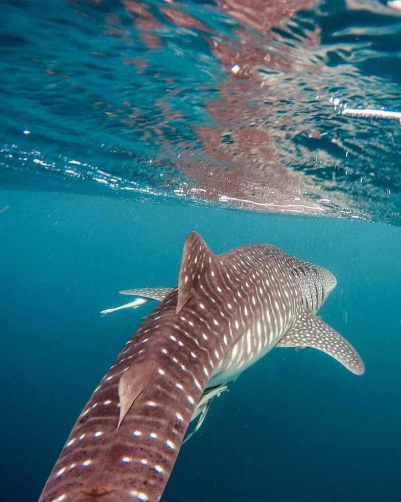 A whale shark swims just underneath the surface of the water in Cebu, The Philippines