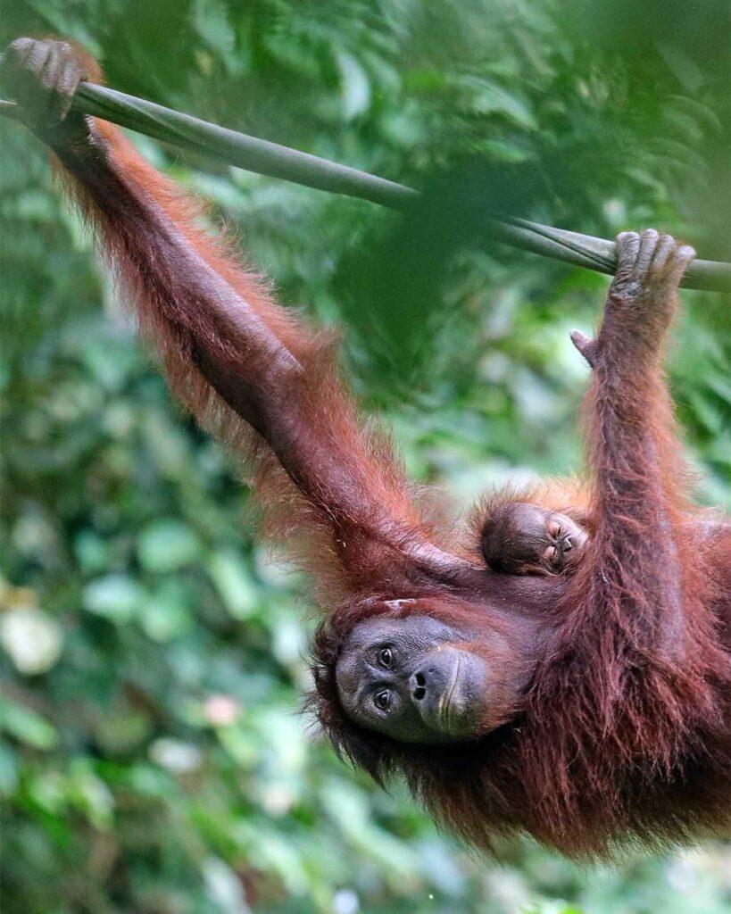 A orangutan in the Borneon jungle outside Sandakan, Sabah state, Malaysia