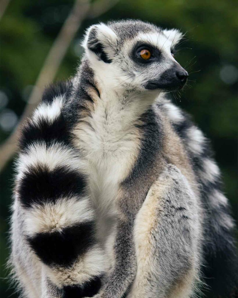 A sight during the Private Jet Wildlife Safari: a ring-tailed lemur holds its own tail in Madagascar, Africa