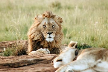 Lions in Kenya, a stop during the Abercrombie and Kent Private Jet Wildlife Safari