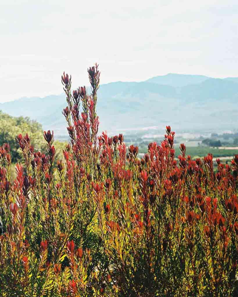 Fynbos landscape in South Africa