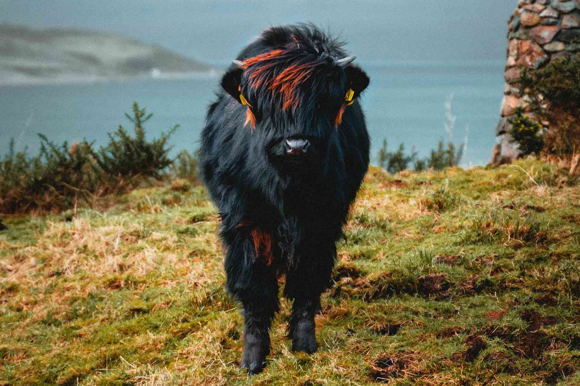 Skye Scottish Island Scotland cow