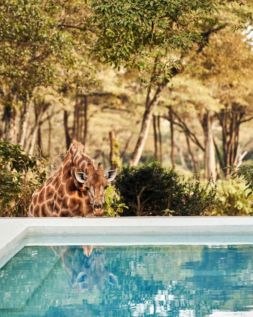 Giraffe by the pool at Giraffe Manor, The Safari Collection